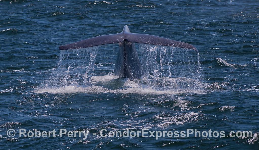 A Blue Whale (<em>Balaenoptera musculus</em>) tail fluke !
