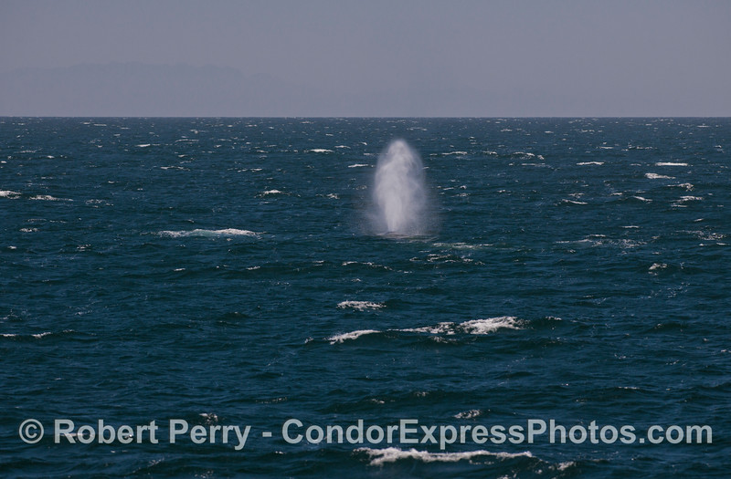 Boom. A Blue Whale (<em>Balaenoptera musculus</em>) spouts straight and tall on a choppy ocean surface.