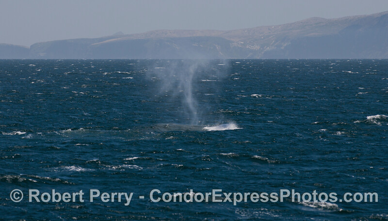 """The strong wind pays tricks with the tall spout of a Blue Whale (<em>Balaenoptera musculus</em>) and makes it curve into an almost """"S"""" shape."""