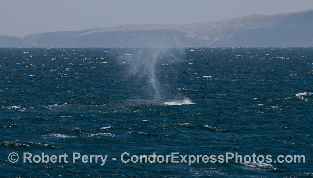 "The strong wind pays tricks with the tall spout of a Blue Whale (<em>Balaenoptera musculus</em>) and makes it curve into an almost ""S"" shape."