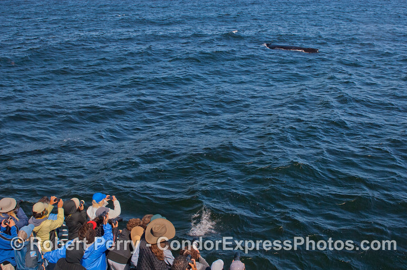 A Humpback Whale (<em>Megaptera novaeangliae</em>) passes close by the Condor Express.