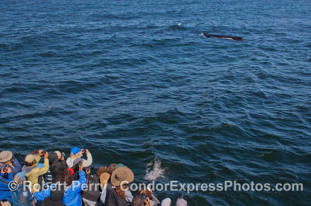 A Humpback Whale (<em>Megaptera novaeangliae</em>) passes close by the Condor Express.