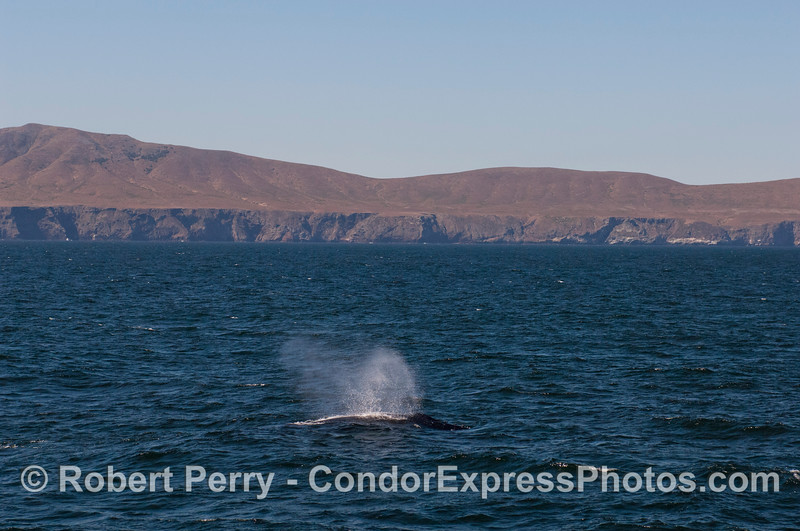 A Humpback Whale (<em>Megaptera novaeangliae</em>) spouts with Santa Cruz Island in the background.