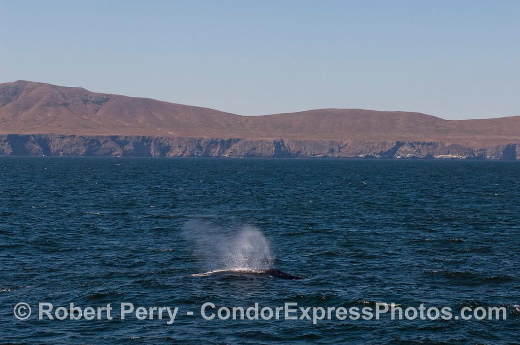 A Humpback Whale (<em>Megaptera novaeangliae</em>) spouts with Santa Cruz Island in the background.