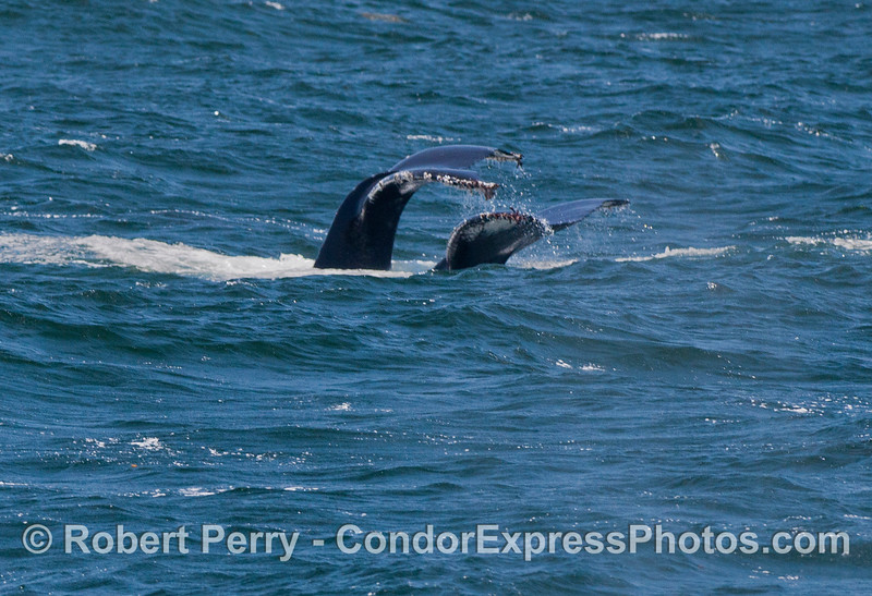 Twin tail flukes - Humpback Whales (<em>Megaptera novaeangliae</em>) .