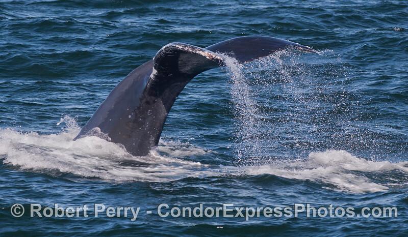 Tail fluke waterfall - Humpback Whale (<em>Megaptera novaeangliae</em>).