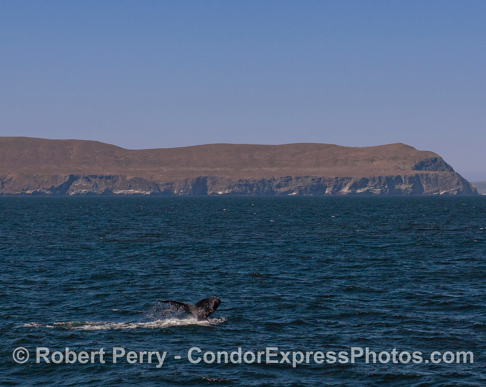 A Humpback Whale (<em>Megaptera novaeangliae</em>) flukes up with the West End of Santa Cruz Island in the background.