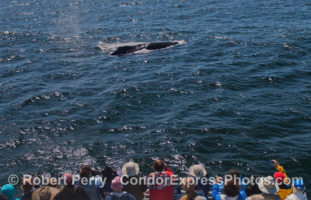 A friendly approach by a Humpback Whale (<em>Megaptera novaeangliae</em>).