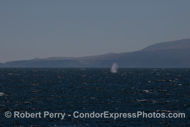 A tall spout from a Blue Whale (<em>Balaenoptera musculus</em>) is seen in the distance with Santa Cruz Island in the back.