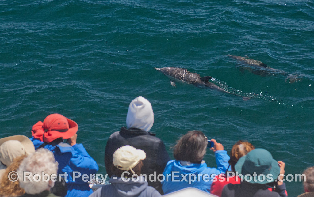 Long-beaked Common Dolphins (<em>Delphinus capensis</em>) pay a visit to the Condor Express.