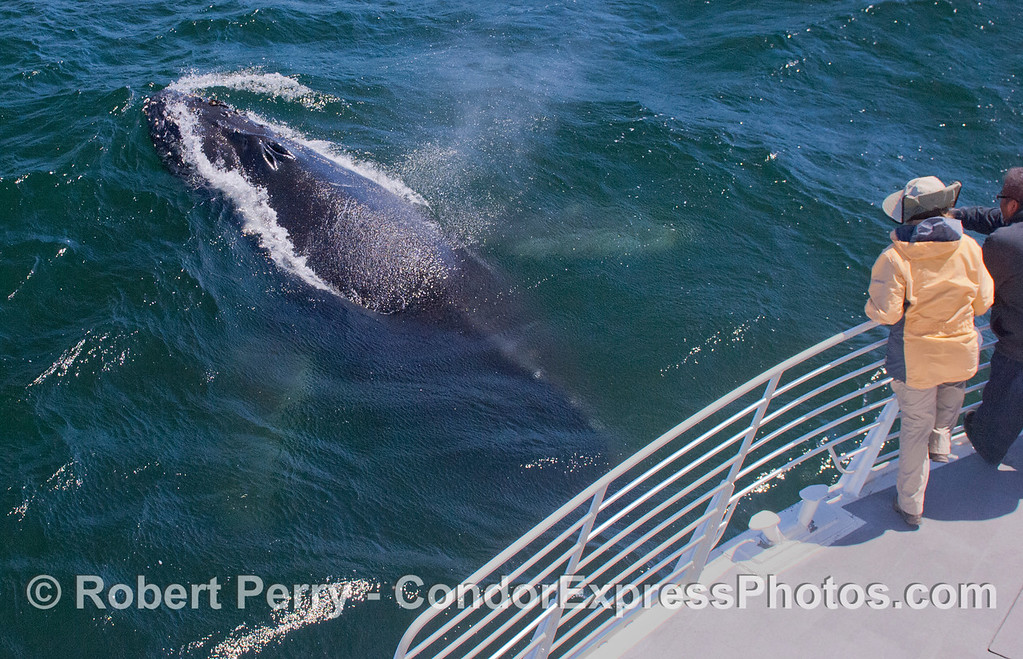 Image 1 of 2 in a sequence:  A Humpback Whale (<em>Megaptera novaeangliae</em>) surfaces and spouts right next to the Condor Express.  The large pectoral fins can just barely be seen under the water.  The cetacean lovers on the rail got a very close look.