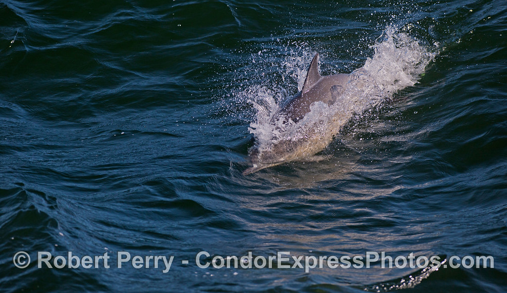 A Common Dolphin (<em>Delphinus capensis</em>) rides a wave.