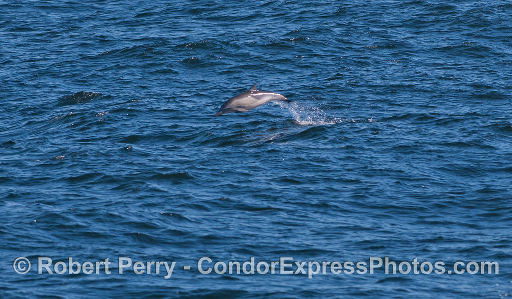 A high-flying long-beaked Common Dolphin (<em>Delphinus capensis</em>).