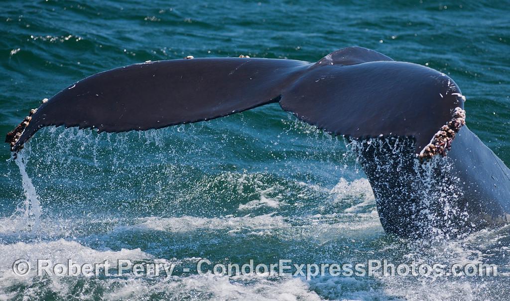 A close up view of a Humpback Whale (<em>Megaptera novaeangliae</em>) tail fluke.