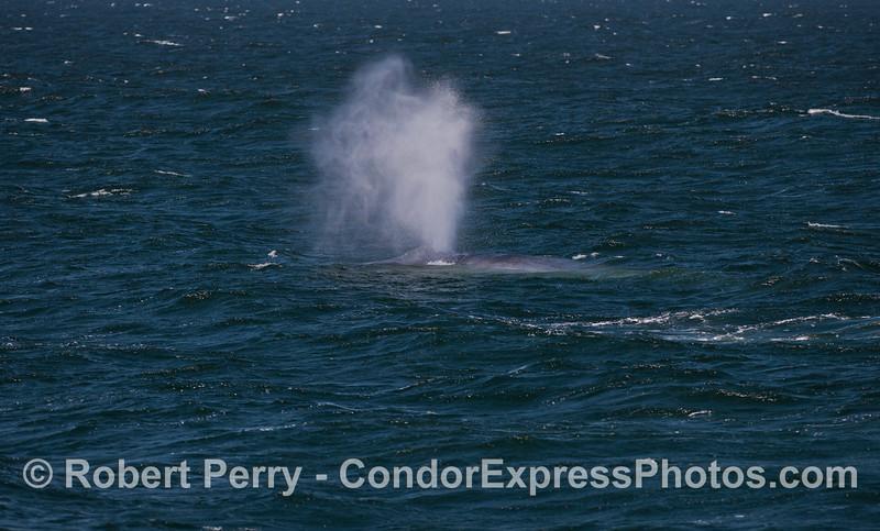 A Blue Whale (<em>Balaenoptera musculus</em>) spouts in the wind.