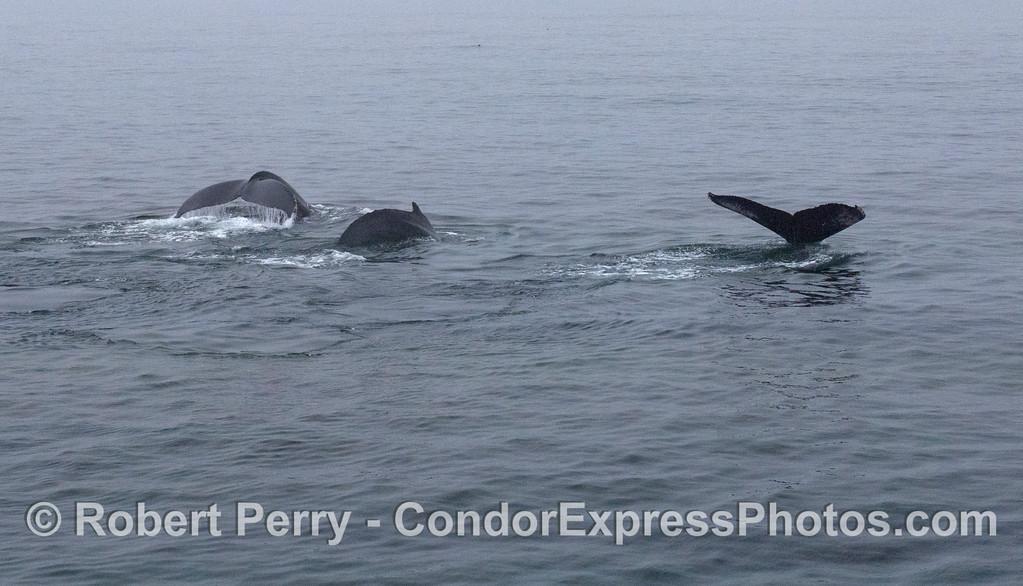 Three humpback whales (<em>Megaptera novaeangliae</em>) begin their deep dive.