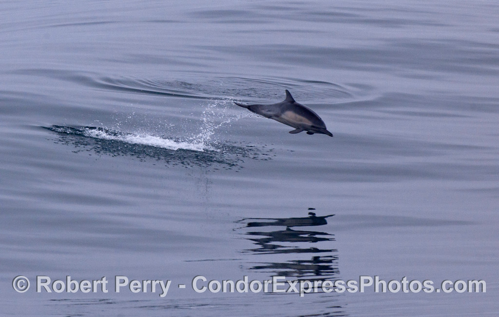 A young long-beaked common dolphin (<em>Delphinus capensis</em>) leaps across the glassy ocean surface.