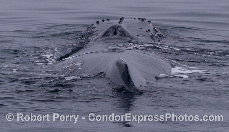 Looking down the back at the blowholes and knobby head.  The dorsal fin of this humpback whale (<em>Megaptera novaeangliae</em>) is also visible at the bottom.