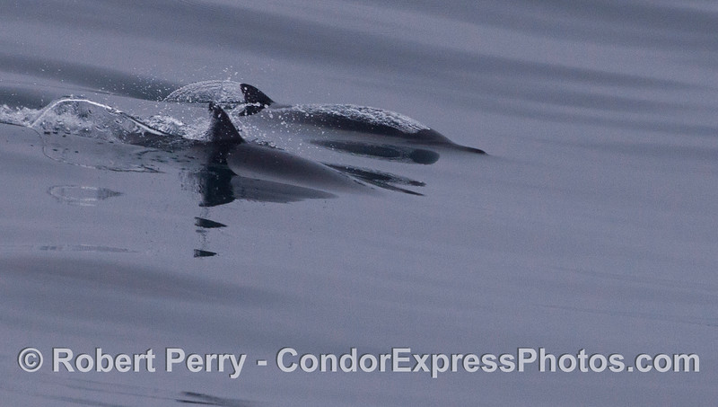 Two long-beaked common dolphin (<em>Delphinus capensis</em>) glide across the mirror ocean.