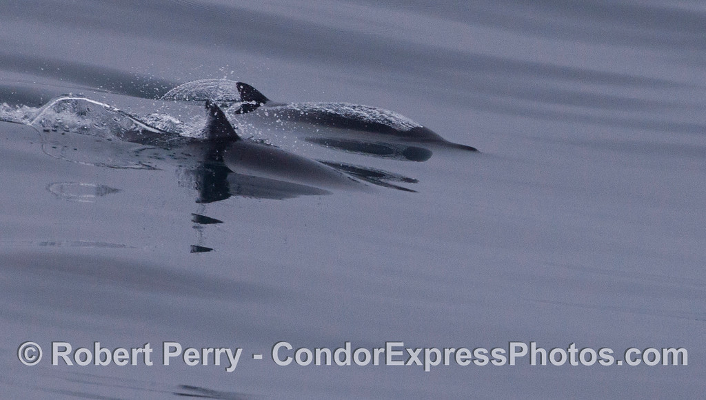 Two long-beaked common dolphin (<em>Delphinus capensis</em>) glide across the mirror ocean.