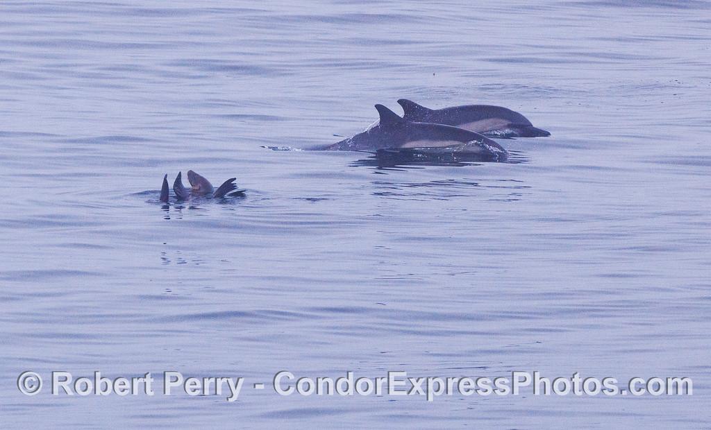 Two long-beaked common dolphin (<em>Delphinus capensis</em>) take a close look at a rafting California sea lion (<em>Zalophus californianus</em>).
