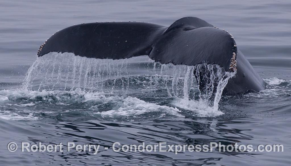 Another classic humpback whale (<em>Megaptera novaeangliae</em>) tail fluke waterfall.