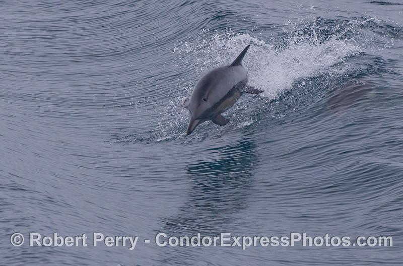 A long-beaked common dolphin (<em>Delphinus capensis</em>) leaps towards the camera.
