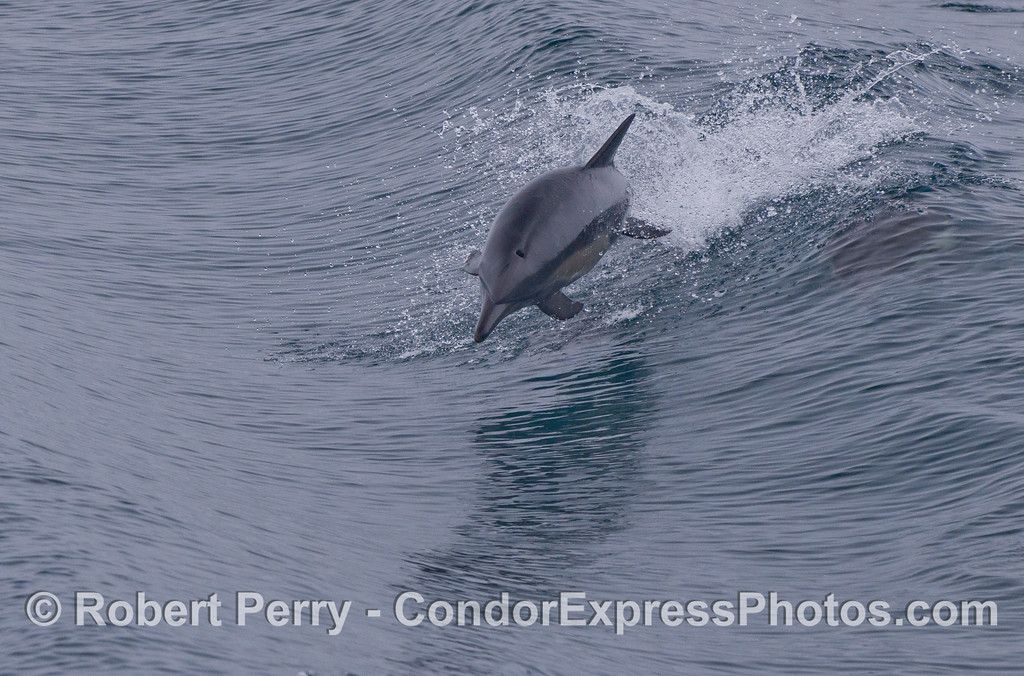 A long-beaked common dolphin (<em>Delphinus capensis</em>) leaps towards the camera.
