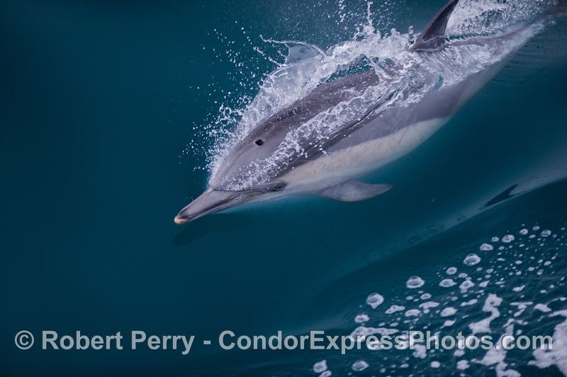 This long-beaked common dolphin (<em>Delphinus capensis</em>) has a wide open blowhole as it pops up for air.