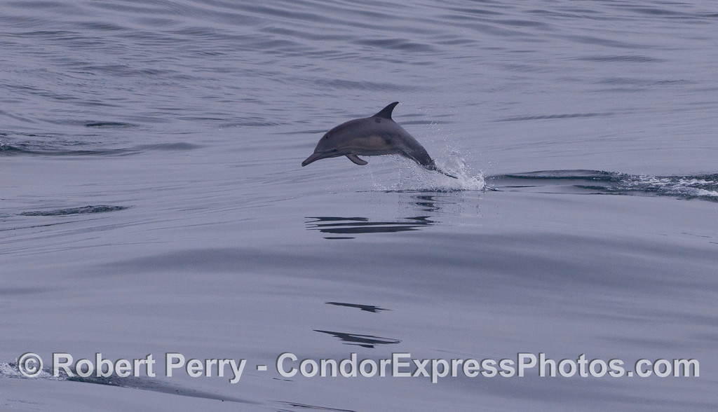 A young long-beaked common dolphin (<em>Delphinus capensis</em>) leaps across the waves.