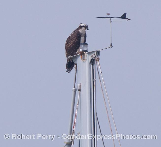 An osprey (<em>Pandion haliaetus</em>) perched atop a mast head in Santa Barbara Harbor.