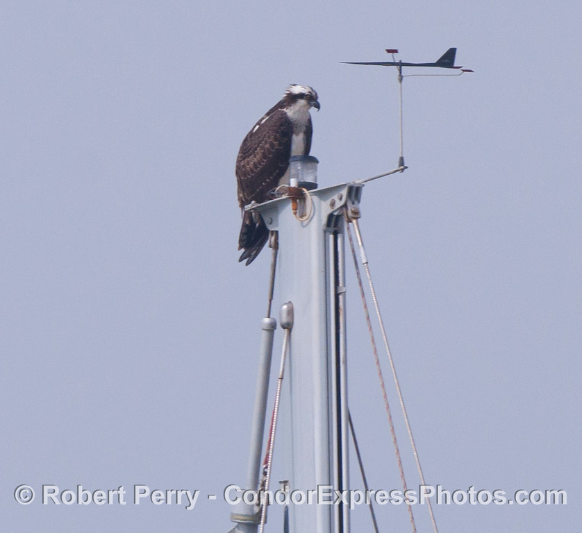 An osprey (<em>Pandion haliaetus</em>) perched atop a mast head in Santa Barbara Harbor.
