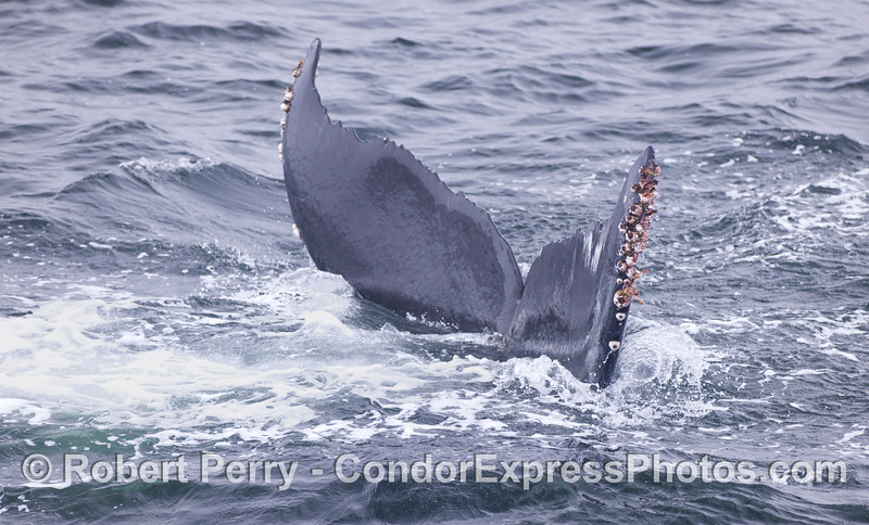 Tail flukes of a humback whale (<em>Megaptera novaeangliae</em>).