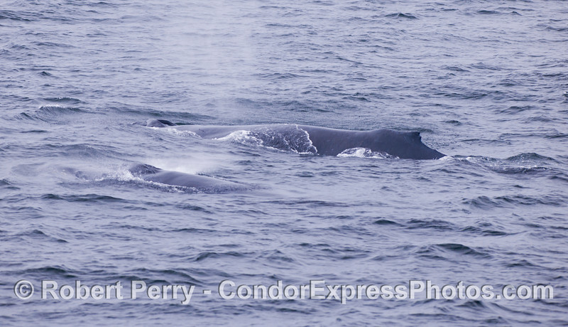 Two humback whales (<em>Megaptera novaeangliae</em>), side by side.