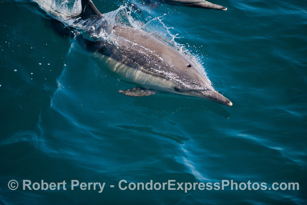 A close look at a long beaked common dolphin (<em>Delphinus capensis</em>).