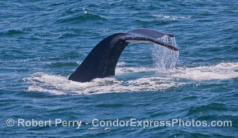 A humpback whale (<em>Megaptera novaeangliae</em>) tail fluke waterfall.