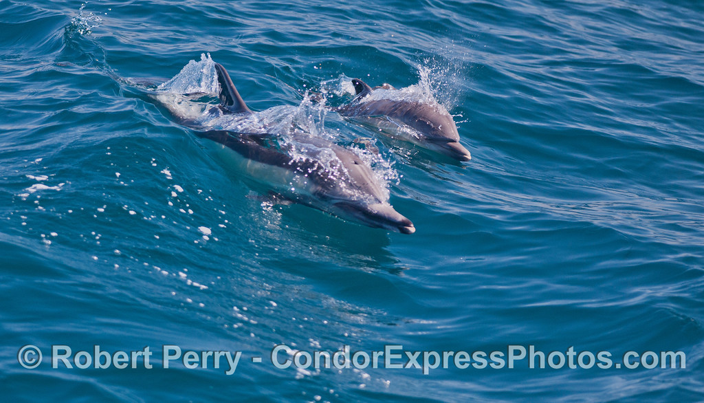 A long beaked common dolphin and her calf (<em>Delphinus capensis</em>).