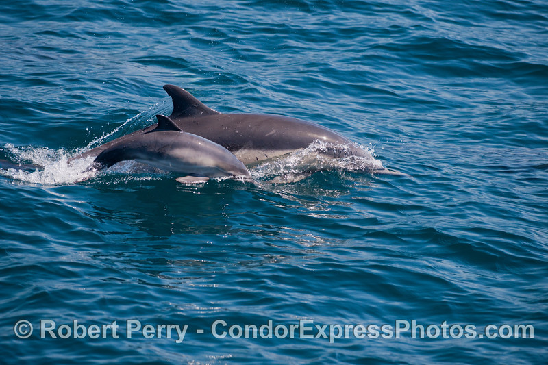 A female long beaked common dolphin and her calf (<em>Delphinus capensis</em>).