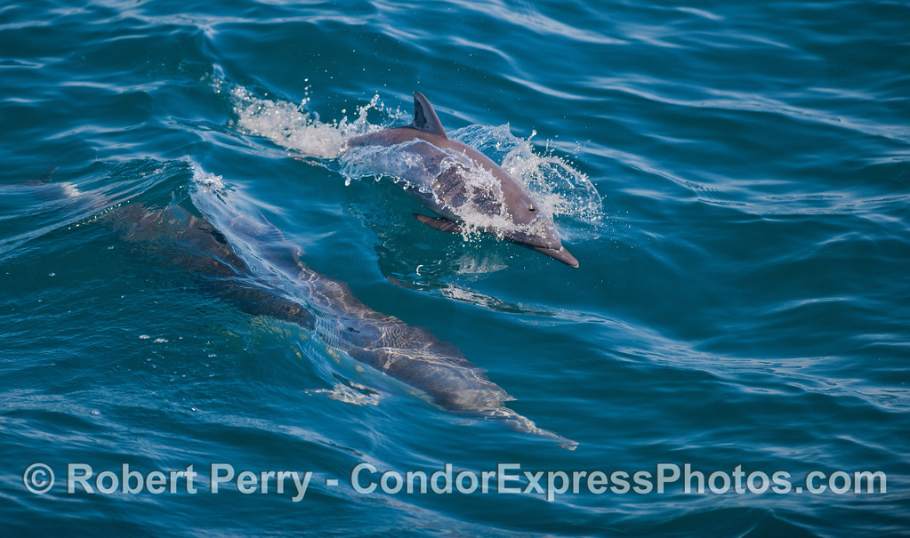 A young juvenile long beaked common dolphin (<em>Delphinus capensis</em>) with mom nearby underwater.