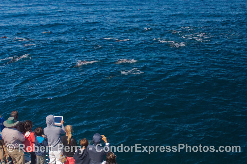 Guests on board the Condor Express get a great photo op with a herd of long beaked common dolphins (<em>Delphinus capensis</em>).