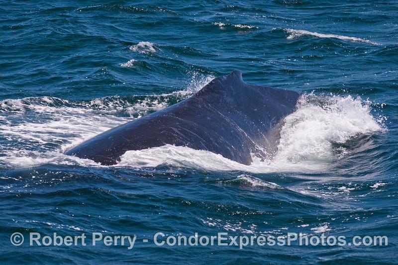 A look at the dorsal fin and back of a humpback whale (<em>Megaptera novaeangliae</em>).