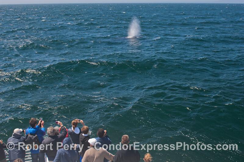 Great looks at a humpback whale (<em>Megaptera novaeangliae</em>).