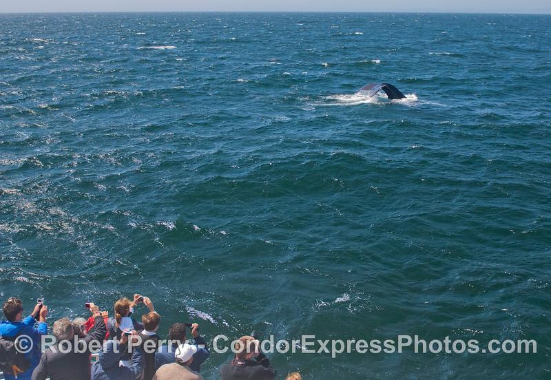 A humpback whale (<em>Megaptera novaeangliae</em>) shows its tail fluke.