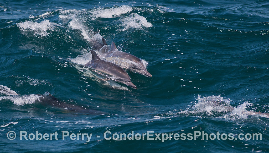 A group of long beaked common dolphins (<em>Delphinus capensis</em>) ride a wave.  Notice the upside down male mating with the female above.  Surfing and mating at the same time.
