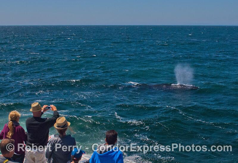 A very friendly humpback whale (<em>Megaptera novaeangliae</em>).