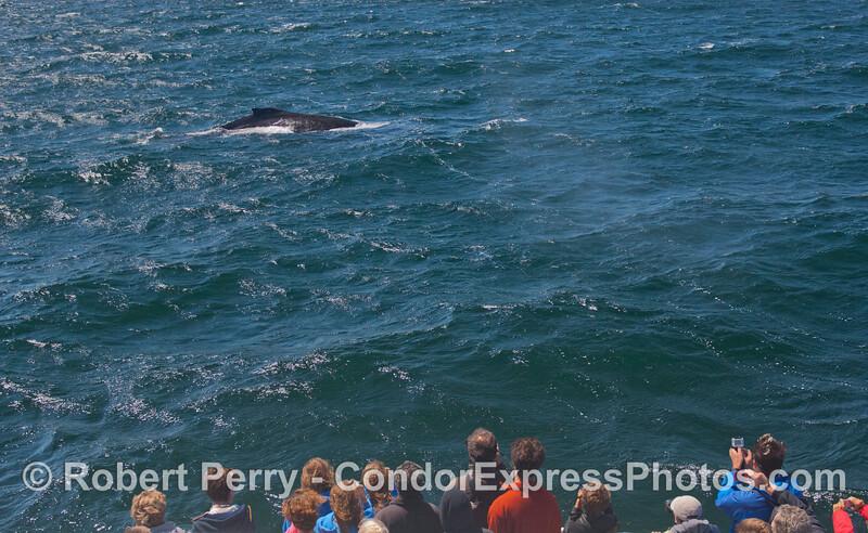 A close approach by a humpback whale (<em>Megaptera novaeangliae</em>).