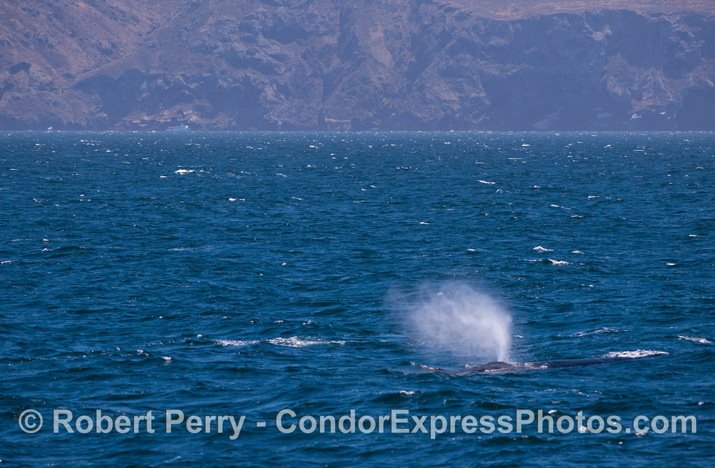 A humpback whale (<em>Megaptera novaeangliae</em>) spouts in the breeze with Santa Cruz Island in the background.