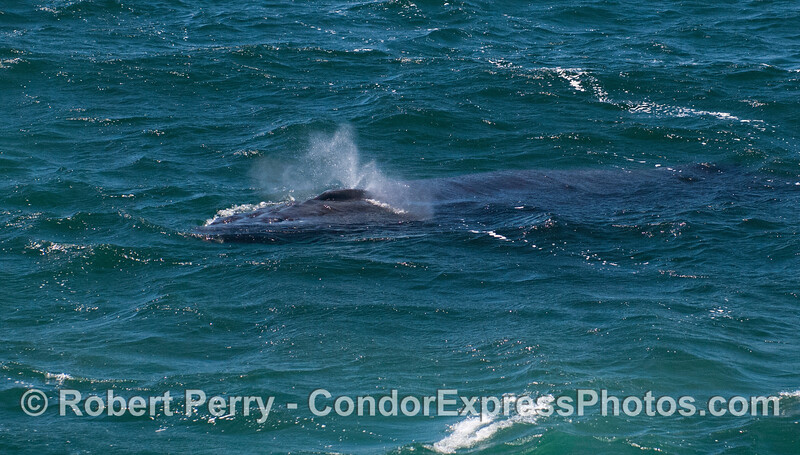 A friendly humpback whale (<em>Megaptera novaeangliae</em>) spouts near the Condor Express.