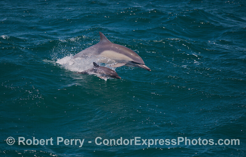 A mother long beaked common dolphin and her calf (<em>Delphinus capensis</em>) leap together across the blue waves.