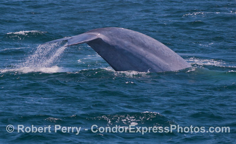 Image sequence 2 of 2:  A giant blue whale (<em>Balaenoptera musculus</em>) flukes up.